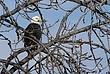 Bald Eagle in Cohoes 035 Taken 1-27-09.jpg