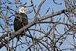 Bald Eagle in Cohoes 039 Taken 1-27-09.jpg