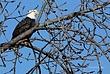 Bald Eagle in Cohoes 042 Taken 1-27-09.jpg