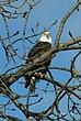 Bald Eagle in Cohoes 047 Taken 1-27-09.jpg