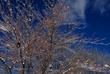 Ice Covered Trees In Clifton Park 051 Taken 3-8-11.jpg