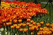 Washington Park Tulips 033 Taken 4-21-10.jpg