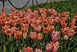 Washington Park Tulips 064 Taken 4-21-10.jpg