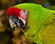 Green Macaw_6333.jpg
