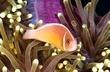 PNG09-0997_AnemonefishScene-snp.jpg