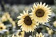 14 Sunflowers-6734.jpg