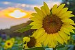 14 Sunflowers-6820.jpg
