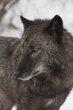 bc wolf 0214_M3C8265 m.jpg