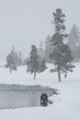 bison in a blizzard 0114_M3C5649 m.jpg