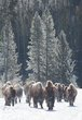 bison on the move 0114_M3C5265 m.jpg