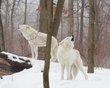 howling artic wolves 0214_M3C7623 m.jpg