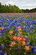 paint brush among the blue bonnets 0409_MG_1520 m.jpg
