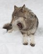 tired wolf 0214_M3C8442 m.jpg