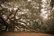 Angel Oak - Aging Gracefully.jpg