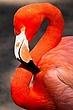 Flamingo Portrait.jpg