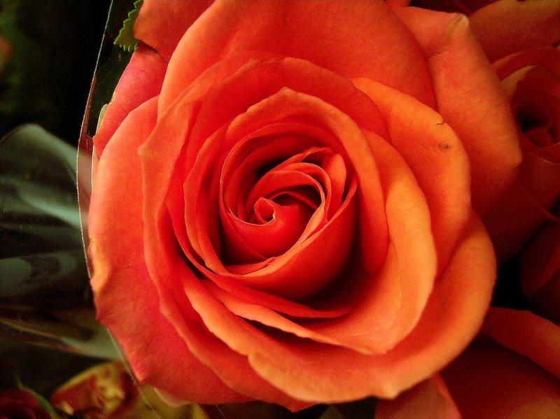 10_100_07641 orange rose 080105.jpg :: a beautiful orange colored rose