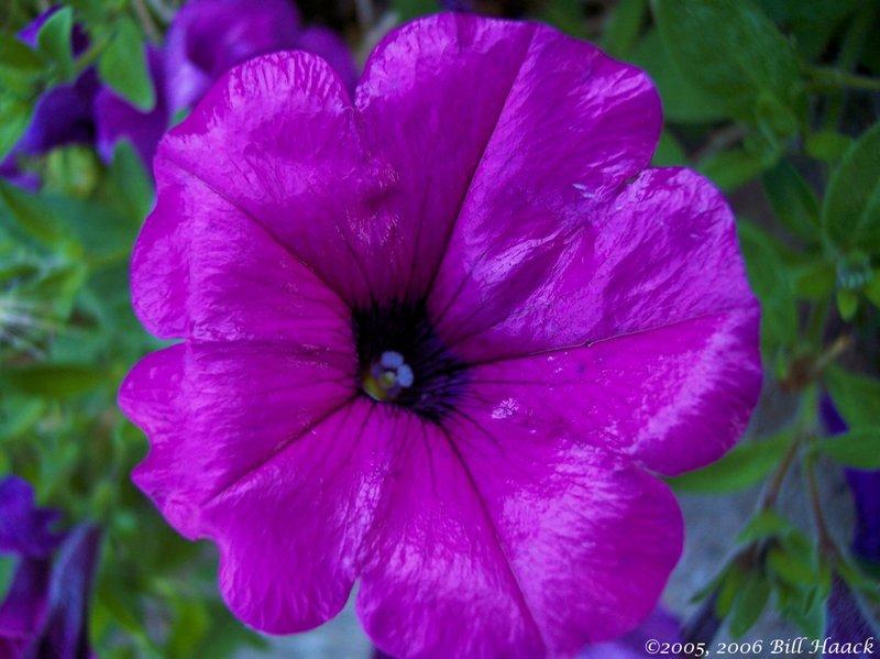 10_100_2854 violet single 102605.jpg