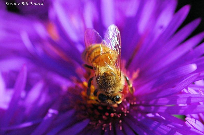 10_DSC_0507 bee on flower 100106.jpg