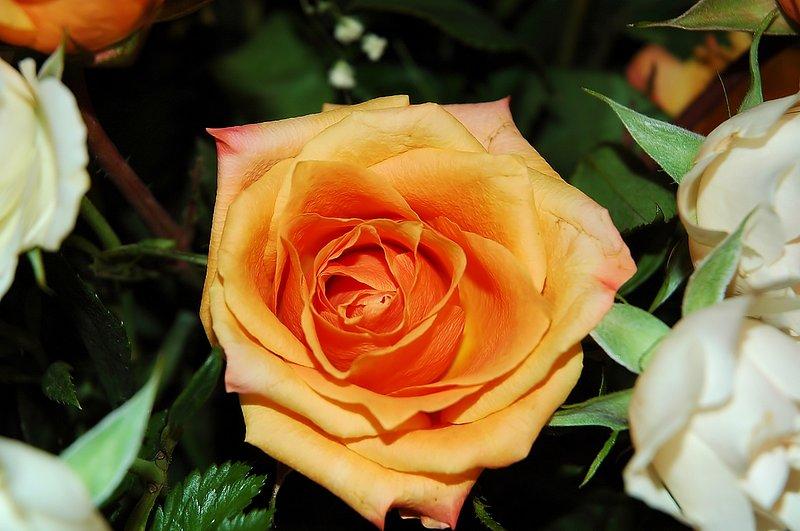 10_DSC_2298 apricot rose 031206.jpg :: a beautiful apricot colored rose