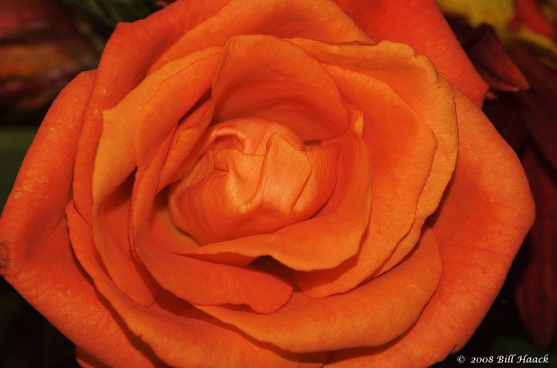 10_DSC_2985 orange rose 111807.jpg