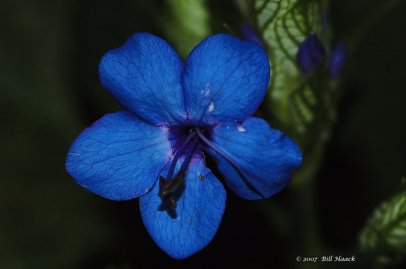 10_DSC_3274 MBG bright lite blue flower 112307.jpg