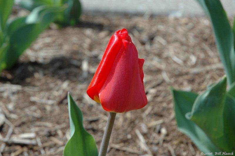 10_DSC_3661 single red tulip closed 040806.jpg