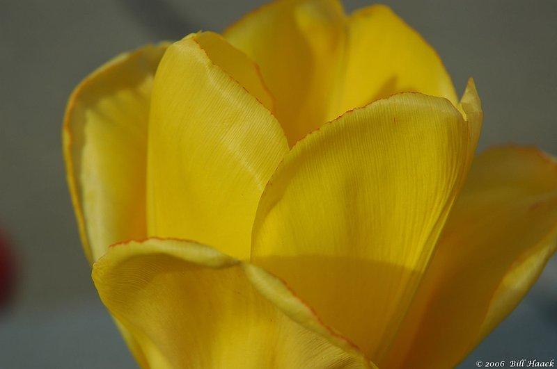 10_DSC_3903 yellow tulip open side 041506.jpg