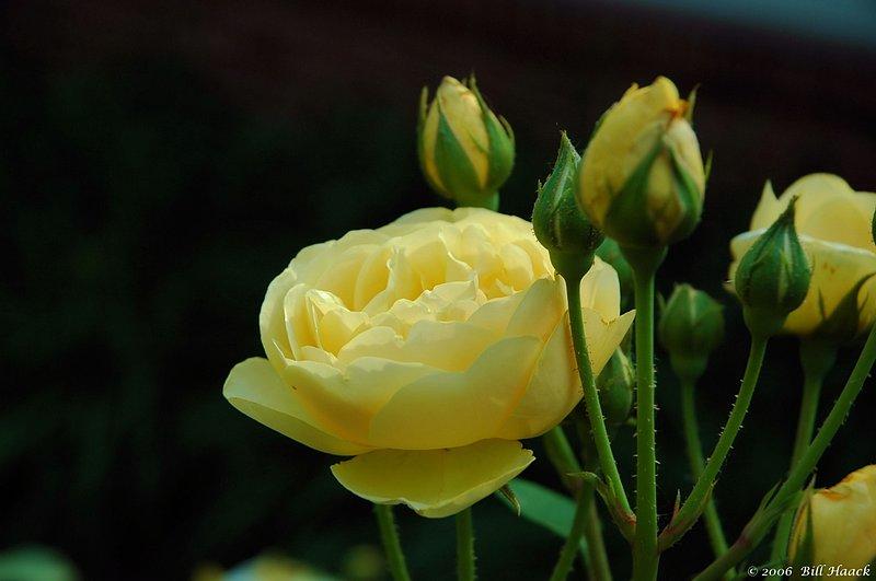 10_DSC_5939 yellow roses 052706.jpg :: a beautiful yellow rose