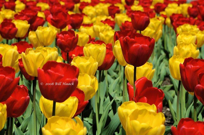10_DSC_6924 Tulips many 001 042008.jpg