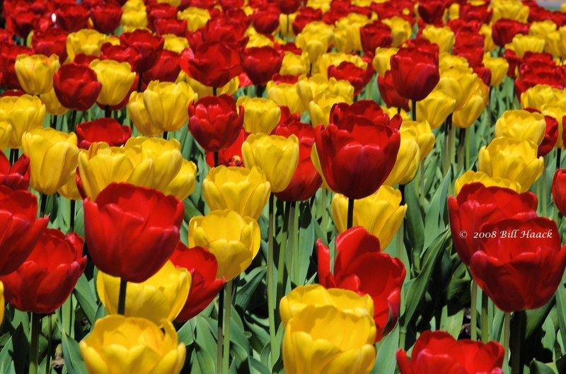 10_DSC_6928 Tulips many 002 042008.jpg