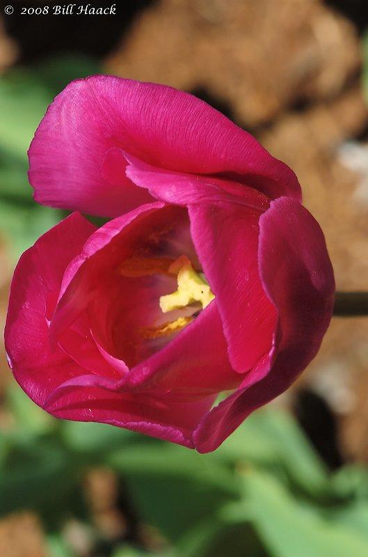 10_DSC_7114 Tulip dark pinkish 004 042468.jpg