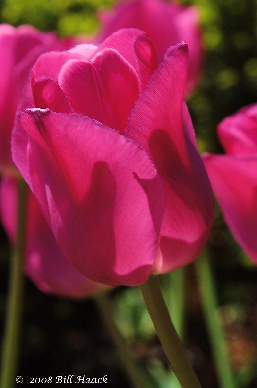 10_DSC_7117 Tulip dark pinkish 001 042468.jpg