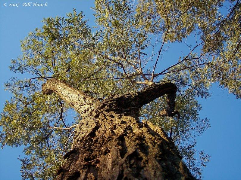 12_100_2910 tree from bottom 102905.jpg