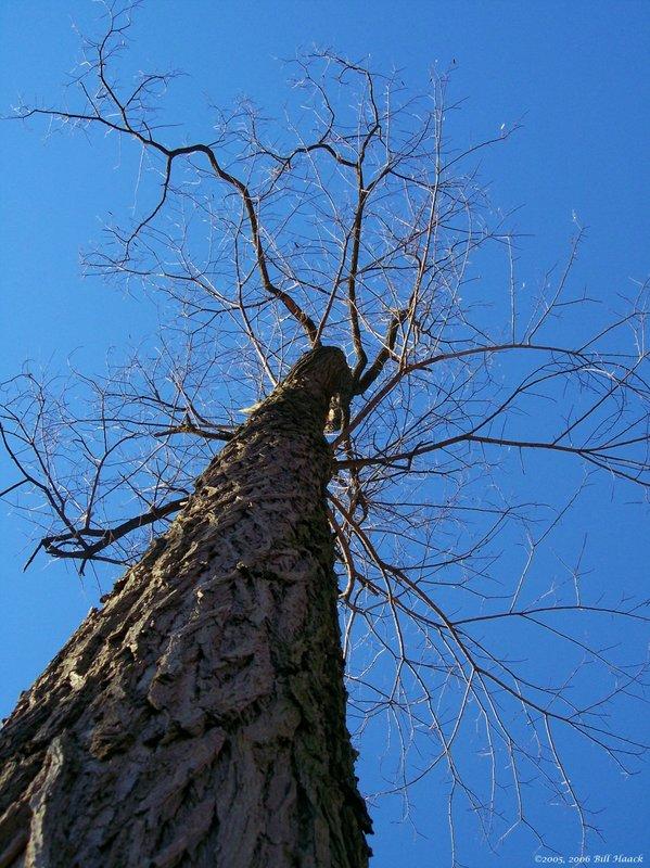 12_100_3107 Vago tree up no leaves 111905.jpg