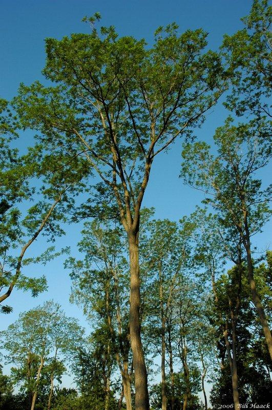 12_DSC_5888 Vago tree blue sky 052606.jpg
