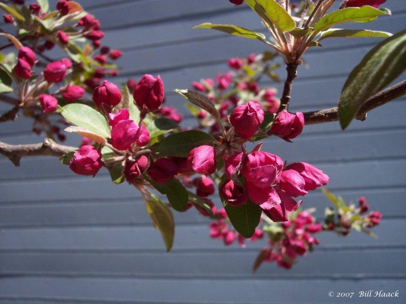 14_100_0317 pink blossoms tree 040805.jpg