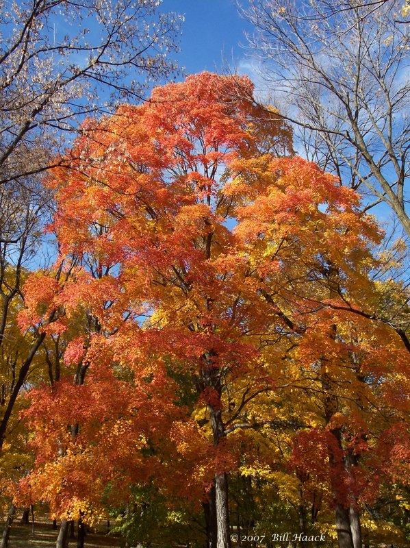 16_100_2951 fall tree orange 110305.jpg