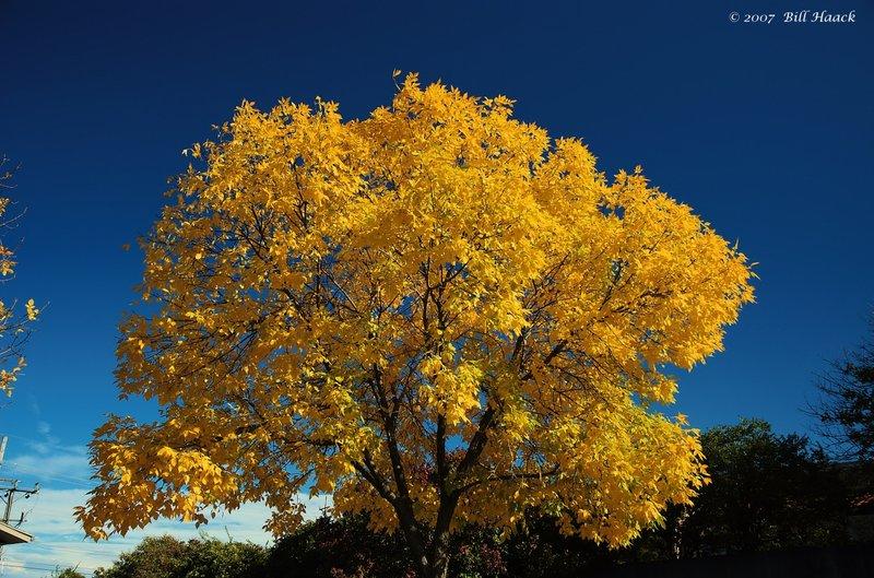 16_DSC_1144 2006 fall yellow tree 102307.jpg