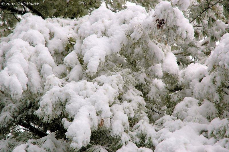 20_DSC_1627 snow on pine limbs 020806.jpg