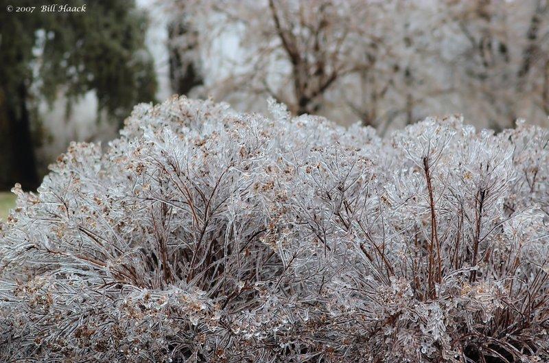 20_DSC_2417 ice bush 011407.jpg