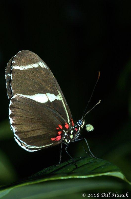 45_DSC_7266 brown white butterfly MOBOT 110808.jpg