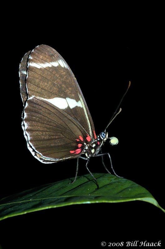 45_DSC_7290 black butterfly pink 014 green leaf MOBOT 110808.jpg