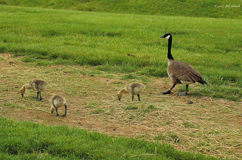 51_DSC_4500 goose 3 babies 060107.jpg