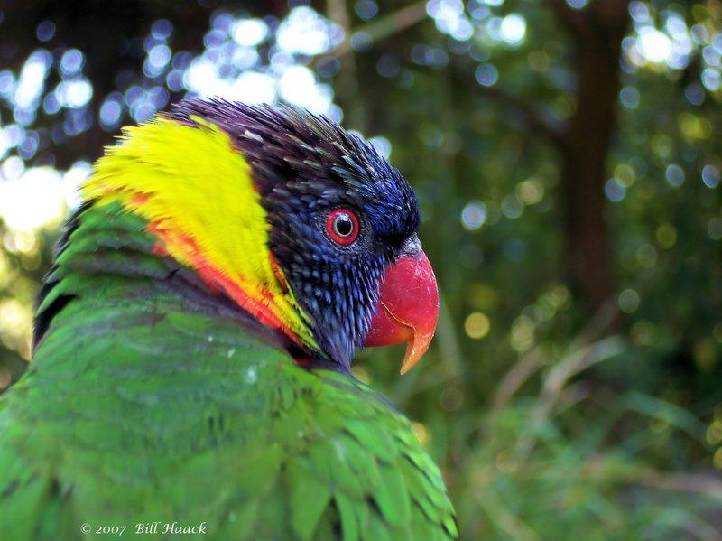 53_100_1990 large green parrot 091707.jpg