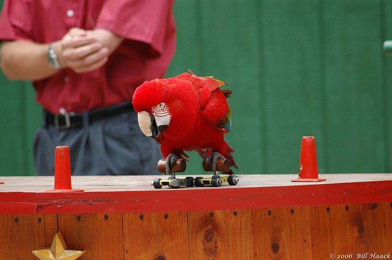 53_DSC_4946 Grants red parrot skates 050606.jpg