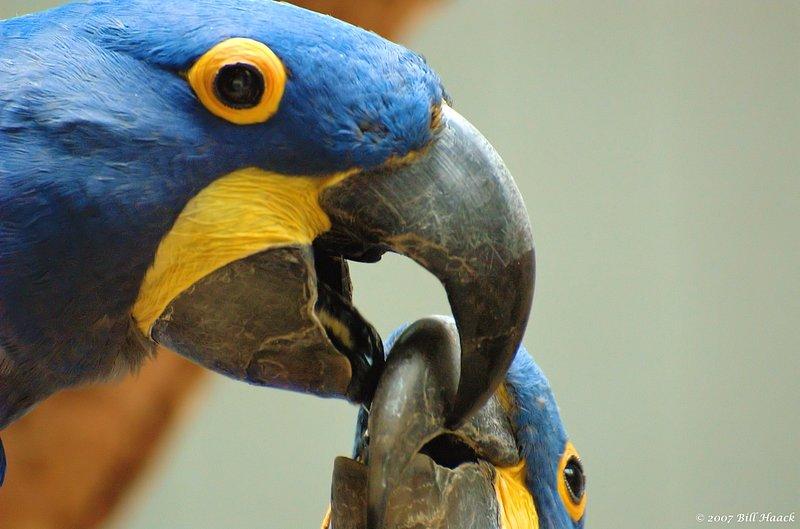 53_DSC_7215 parrots beak 2 beak 071307_2.jpg