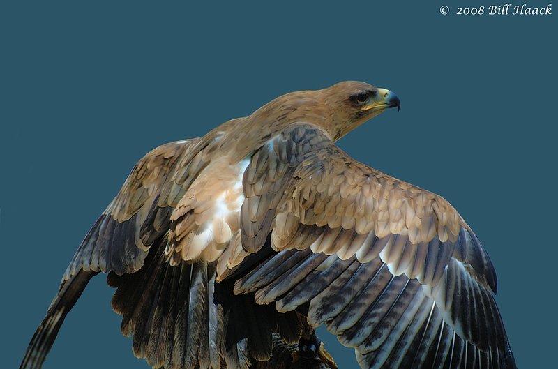 54_DSC_7742 WBS falcon eagle 051708.jpg
