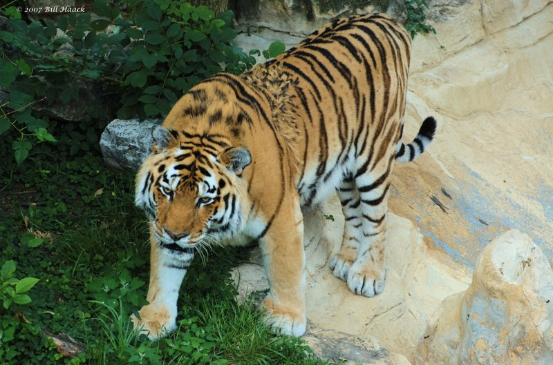 55_DSC_6914 tiger 071307_3.jpg