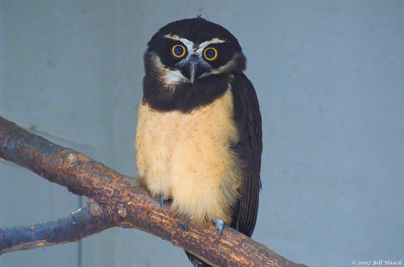 55_DSC_7172 owl 071307_2.jpg