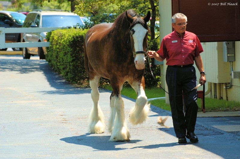 56_DSC_4242 Clydesdale and man 051207.jpg